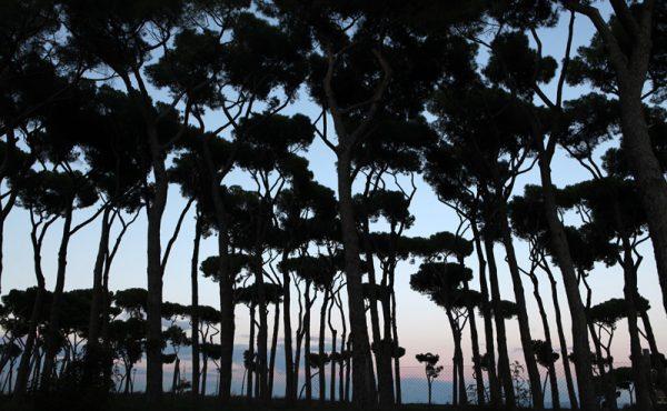 Stone pines (Pinus pinea) in the park La Pineta Sacchetti in Rome, Italy, at sunset.
